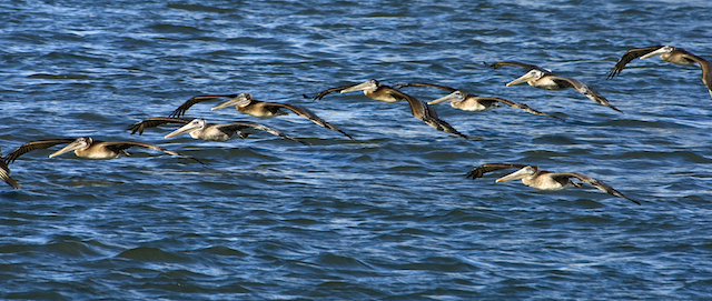 CA brown pelicans flying